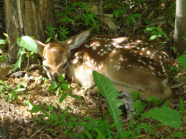 newborn deer near Fenton Inn VA