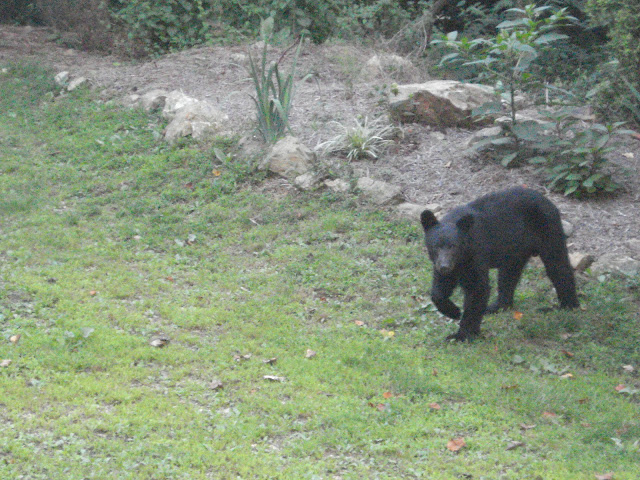 black bear walking in a lawn near Fenton Inn VA