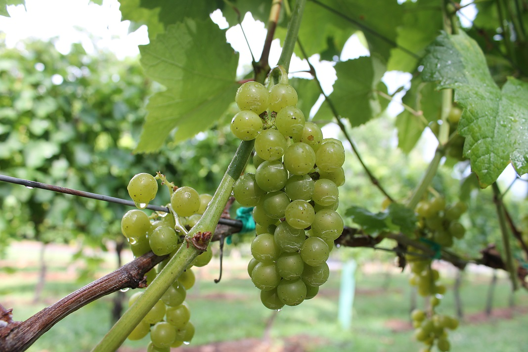 grapes-after-rain-near-fenton-inn